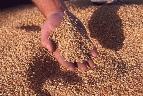 Оптовая торговля зерном, семенами и кормами для