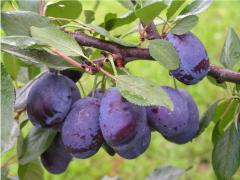 Stocks plum saplings Toiler Pumiselek