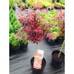 Acer palmatum 'Shaina' Клен