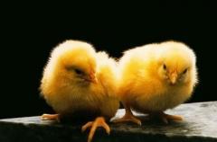 Pollos-broilers