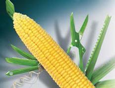 Corn seeds Delitop