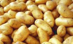 Planting potato
