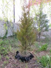 Juniper of verginskiya