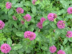 Seeds of a clover meadow