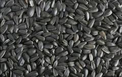 Калиброванная семечка подсолнечника 3,6+