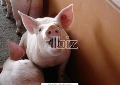 Биопрепараты для свиней