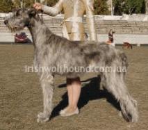 Ирландский волкодав, щенки.