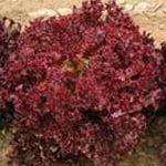 Salad Lola dew is possible expor
