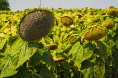 Семена подсолнуха гибрид Mas 91.IR - посевной материал