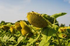 Семена подсолнуха гибрид Mas 87.IR