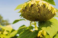Семена подсолнечника Mas 90.F