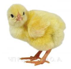 Цыплята Бройлер суточный, бройлер росс 308