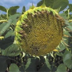 Семена подсолнечника Лимагрейн ЛГ 5663 КЛ (LG5663 CL)
