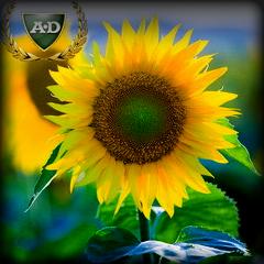 Семена подсолнечника Лимагрейн гибрид Голдсан/ Насіння соняшника  Лімагрейн гібрид  Голдсан