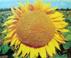 Семена подсолнечника ЛГ 5580/ LG 5580