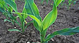 Семена кукурузы гибрид ЛГ 2306/ Насіння кукурудзи гібрид  ЛГ 2306
