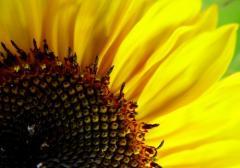 Семена подсолнечника Солнечное настроение (посевной материал подсолнуха) / Насіння соняшника Сонячний настрій під Гранстар