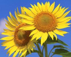 Sunflower seeds under an evrolaytning