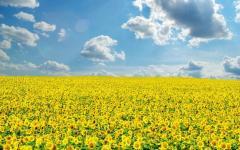 Sunflower seeds grade RMS / Nas_nnya of a
