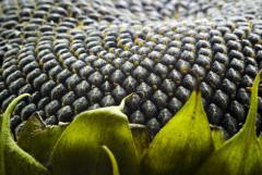 Семена подсолнуха сорт Орешек - посевной материал