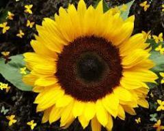 Sunflower seeds grade Don large-fruited / Nas_nnya