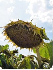 Семена подсолнуха Лакомка - посевной материал