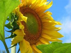 Семена подсолнуха Хуторок- посевной материал