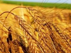 Яровая пшеница сорт Наследство / Спадщина