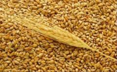 Barley a grade Is vigorous / Yachm_n a grade