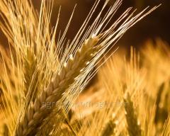 Семена ярового ячменя сорта Водограй элита