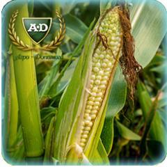 Кукуруза сорт БігСтар
