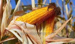 Кукуруза сорт Гран 5