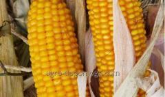 Кукуруза сорт Амарок