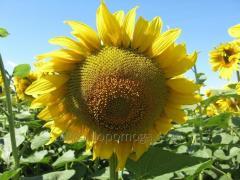 Семена подсолнуха Равенна / посевной материал