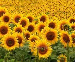 Насіння соняшнику Драган