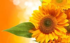 NANOSECOND sunflower seeds Taurus */Nas_nnya of a
