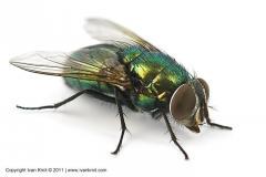 Means against Agit's flies