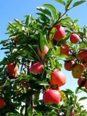 Apple-tree saplings (Fudzhi to kik 8, Honey