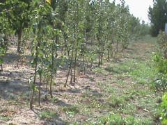 Apple-tree saplings (Fudzhi to kik 8, Honey
