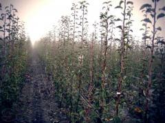 Pear saplings (November)
