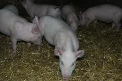 Домашняя свежая свинина с частной фермы. Постоянно в наличии