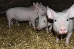 Свіжа домашня свинина