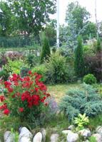 Flowers magoniya padubolistny