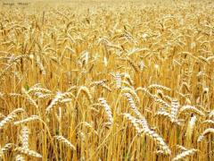 Wheat fodder wholesale on the most favorable