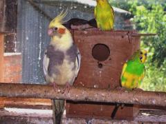 Мелкие попугаи в ассортименте