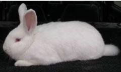 Rabbits of the New Zealand and Californian breeds
