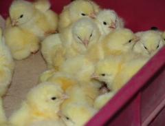 Цыплята суточные Геркулес
