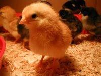 цыплята,индюшата,утята и гусята всевозможных пород