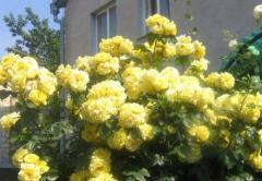 Розы плетистые Листкениген Лючия (Lichtkonigin Lucia)