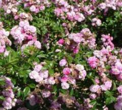 Розы бордюрные Эксцельза